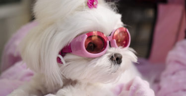 cool-fashionable-maltese-doggy-wearing-goggles-146753357.jpg